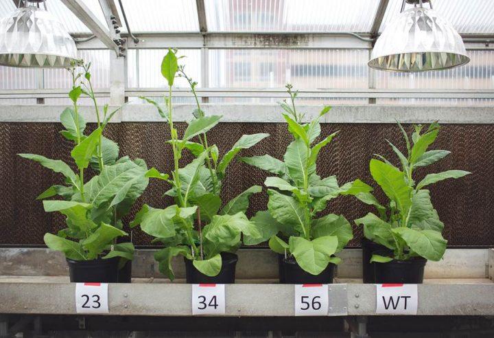 Drie gemanipuleerde tabaksplanten zijn aanmerkelijk groter dan de gewone (wildtype) plant. Foto: Universiteit van Illinois