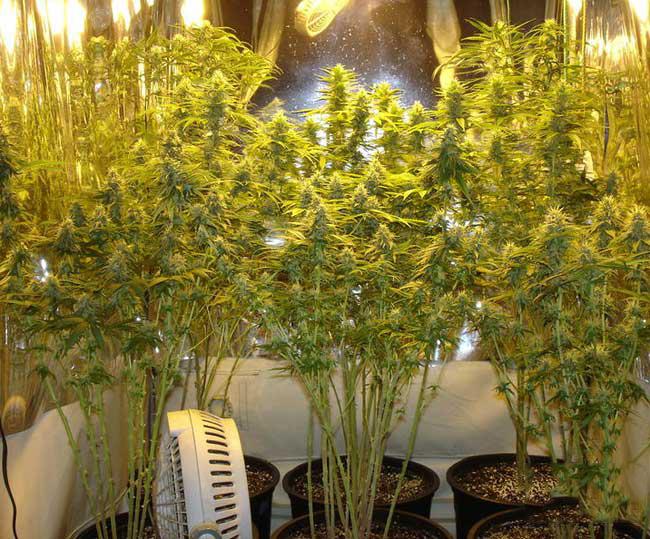 Wietplanten Dieven Voor Grotere Toppen Cnnbs Nl