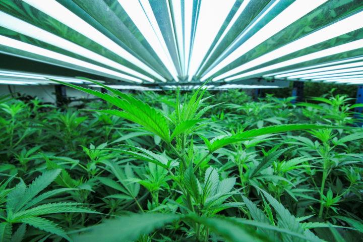 wietplanten opgroeien start ontkiemen wietzaden