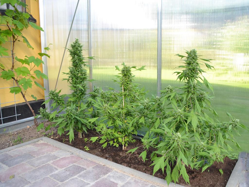 Autoflower wietplanten