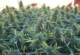 Eerste hulp bij bladproblemen for Plantation de cannabis en exterieur