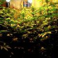 Kijk, zo verloopt een cannabis kweekcyclus