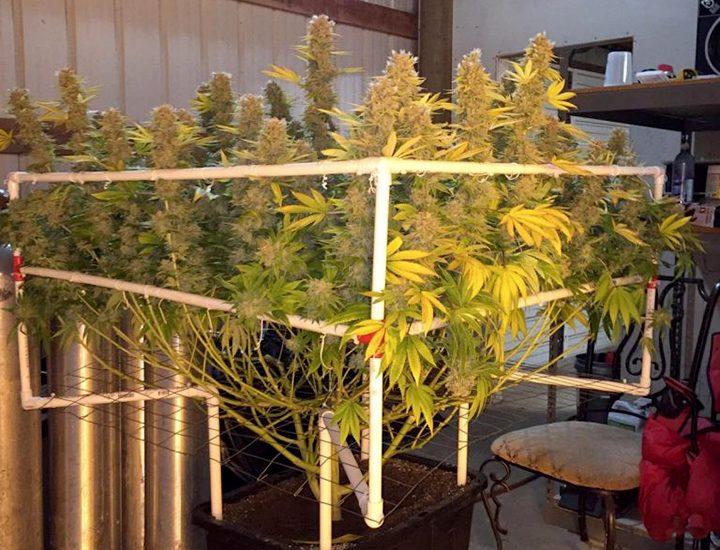 cannabis scrog