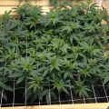 Stap voor stap gids: een wietplant scroggen