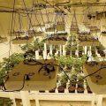 CNNBS Basics: kweeklicht voor wietplanten