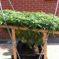 Mijn eerste wietplantje – #5: training & bescherming