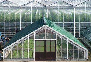 Overheid geeft tuinder Westland licentie voor mediwiet-teelt
