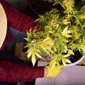 CNNBS Basics: zo kweek je thuis je eigen cannabis