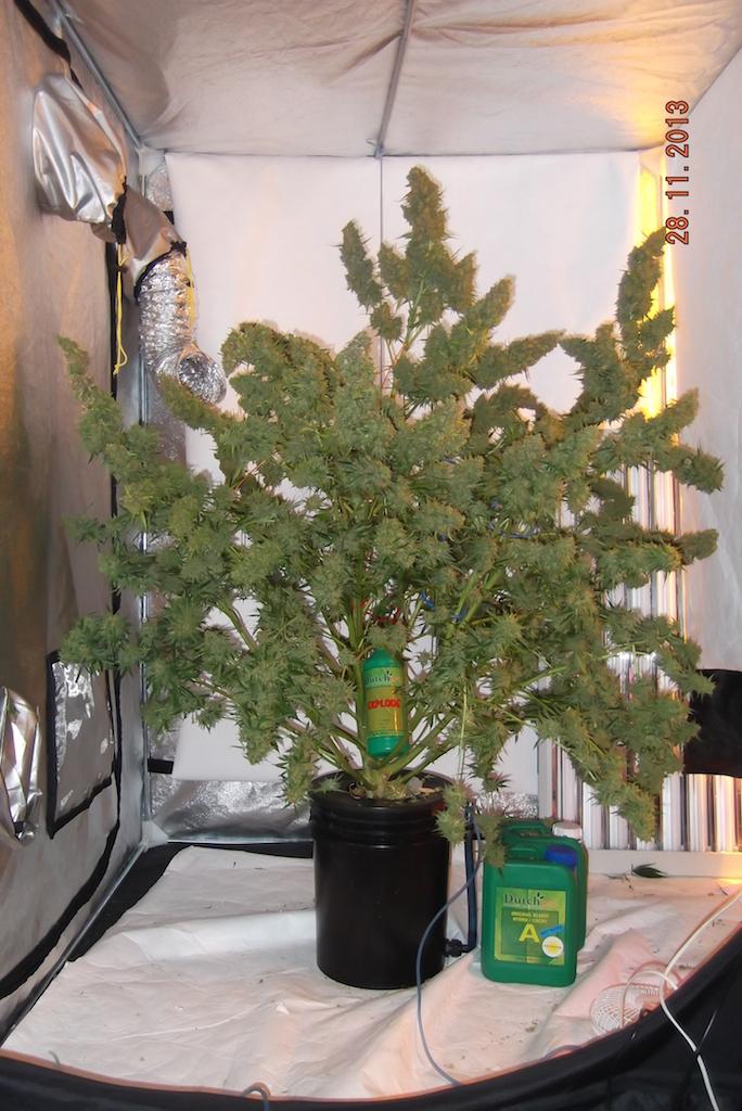 Autoflower Wietplanten Kweken Cnnbs Nl