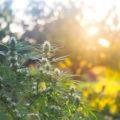 3-stappenplan: wiet kweken in de vrije natuur