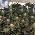 Zo blijven wietplanten groen tot aan de oogst