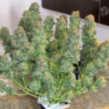 Snel veel wiet kweken? The Incredible Bulk Autoflowering