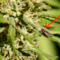 Vapende vampier - bloedzuigende zandvlieg is gek op cannabis!