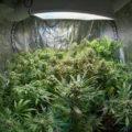 Temperatuur & luchtvochtigheid voor cannabis