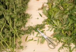 cannabis knipafval