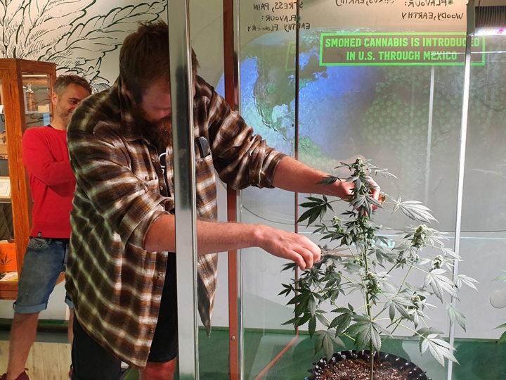 Cannabis Museum Amsterdam wordt door kunstenaar Pieter van Tongeren symbolisch geopend met het oogsten van deze top. CNNBS.nl