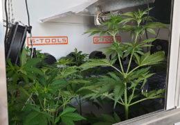 Willie Wietmans Critical Orange Punge groeit veel sneller dan de andere wietplanten in de CNNBS G-Kit XL