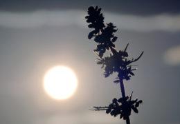 buitenkweek, hittegolf, wietplanten kweken