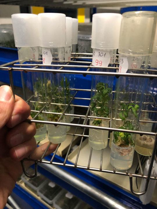 Reageerbuisjes met experimentele wietplantjes