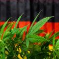 Duitsland koopt mediwiet in voor €2,30 per gram