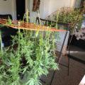 Peeeeer oogst en maakt (buiten)wietolie