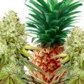 Pineapple: Super Bud met ananassmaak