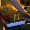 Het wortelstelsel: wanneer verpot je een wietplant?