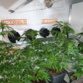 Bloeiweek #1 in G-Kit XL & bonsai wietplant geoogst
