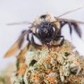 Top-universiteit: 'Cannabis kan de bijen redden'