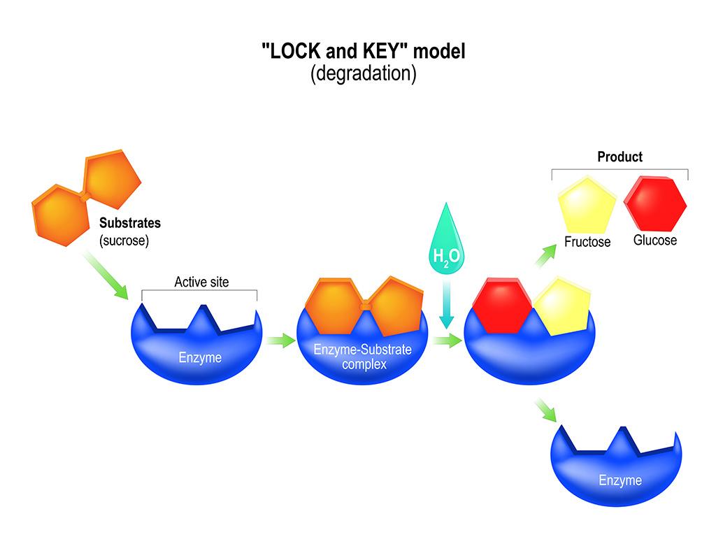 enzymen lock and key