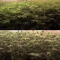 Áls je wietplanten gaat ontbladeren, doe het dan zo