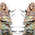 Granddaddy Purple, prachtig paars onder een witte trichomenkorst
