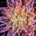 Kweektips voor potentere cannabis