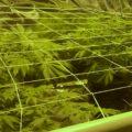 Video: de échte start van de bloeifase bij wietplanten