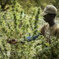 Zuid-Afrika wil cannabis-school voor plattelandsjongeren