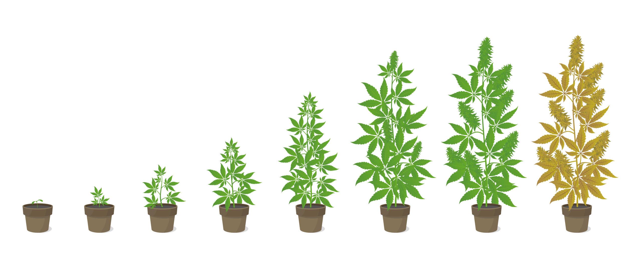 autoflower wietplanten levenscyclus