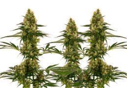 Blue Bullet Automatic Sensi Seeds