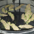 Critical Orange Punch & Frisian Ducks schoon aan de haak