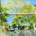CannaBeavertopt en oogst zijn eerste autoflowers van 2020