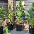 Buds wassen en autoflowers oogsten...