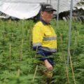 'Historische wietvangst' in Australië van $40 miljoen