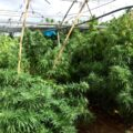 Spaanse politie ript 372.000 'CBD-wietplanten' op 52 plantages