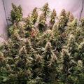 Hardnekkige cannabis kweekmythes #1