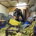 Politie pakt 10 wietknippers in Gerwen en 'scoort' 113 kilo planten