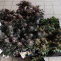 Politie Zeeland rolt 'wietkwekerij' op met 7 plantjes...